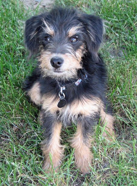 Scout The Welsh Terrier Mix Cutie Pie Terrier Mix Welsh