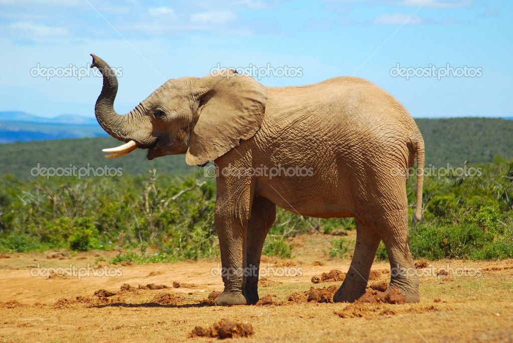 African Elephant Smelling Stock Photo C Ankevanwyk 6201075