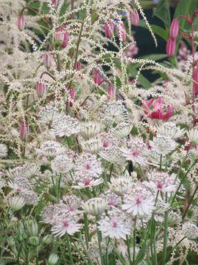 Astrantia, goatsbeard, pink martagon lilies