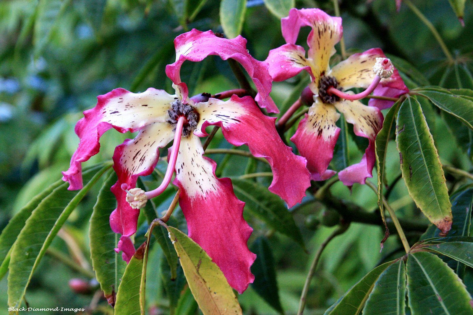 Ceiba Speciosa Floss Silk Tree Silk Tree Flowering Trees Plants