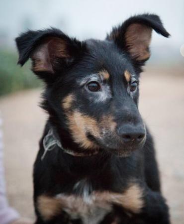 Hund Welpe Mixwelpe Ca 55 Cm Gross Mischling Rude 4 Monate