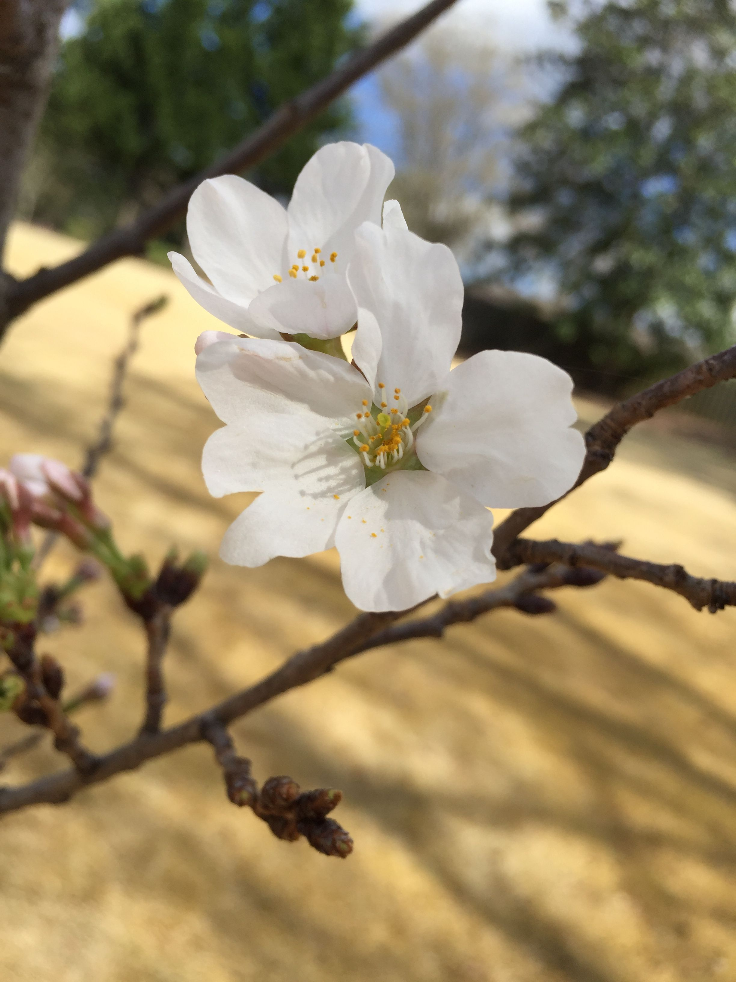 First cherry blossoms march 15 2016 white flowering