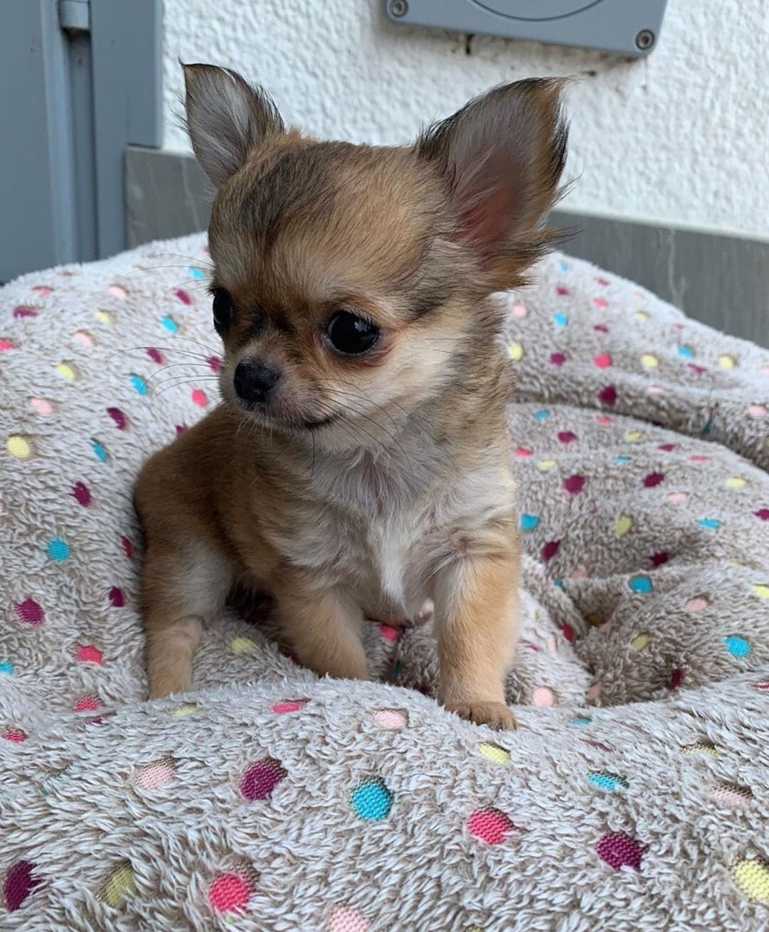 Cute Chihuahua Puppy Chihuahua Puppies Puppy Breeds Cute Small Dogs