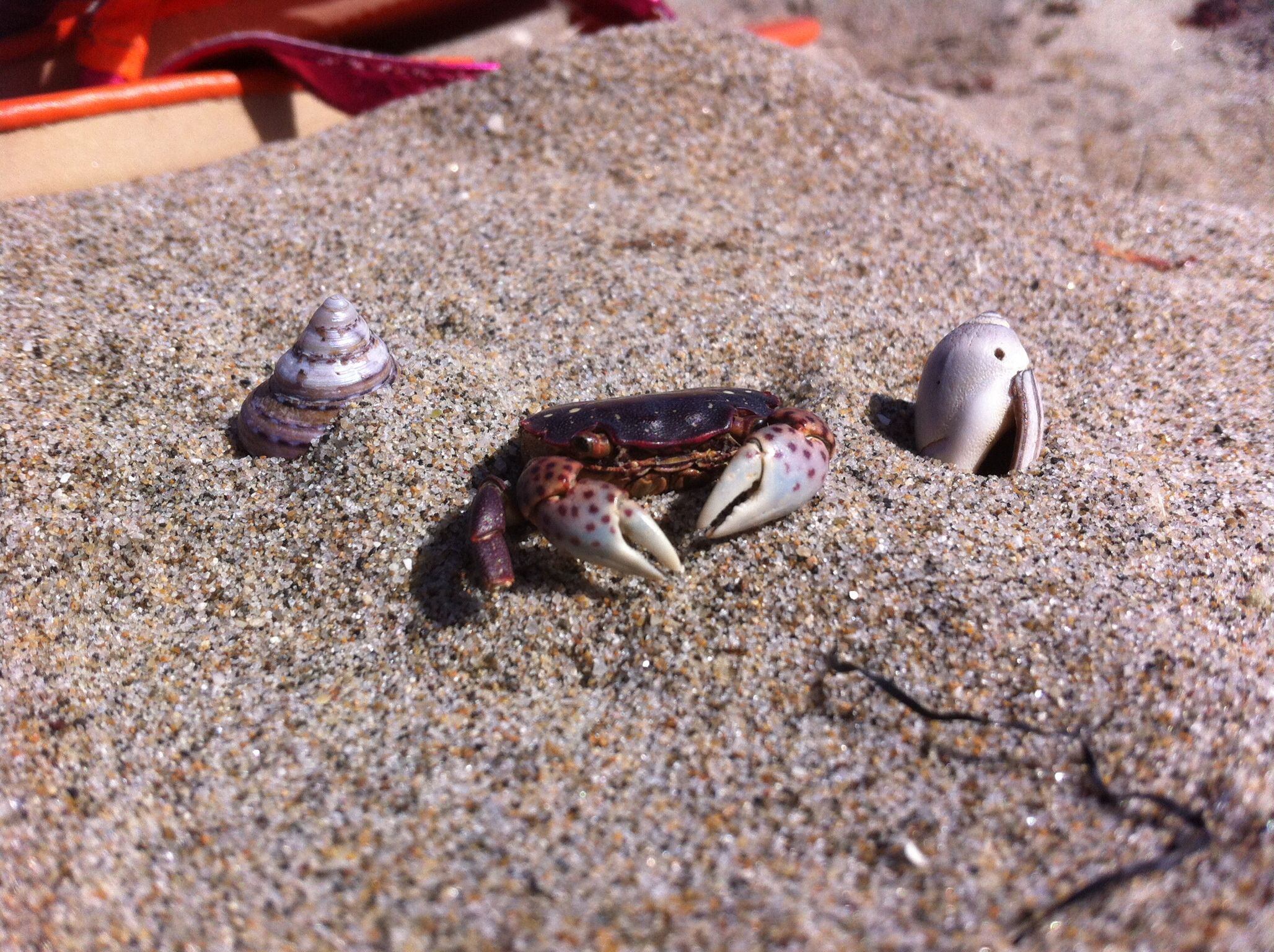 Crab, cangrejo, sand, beach.