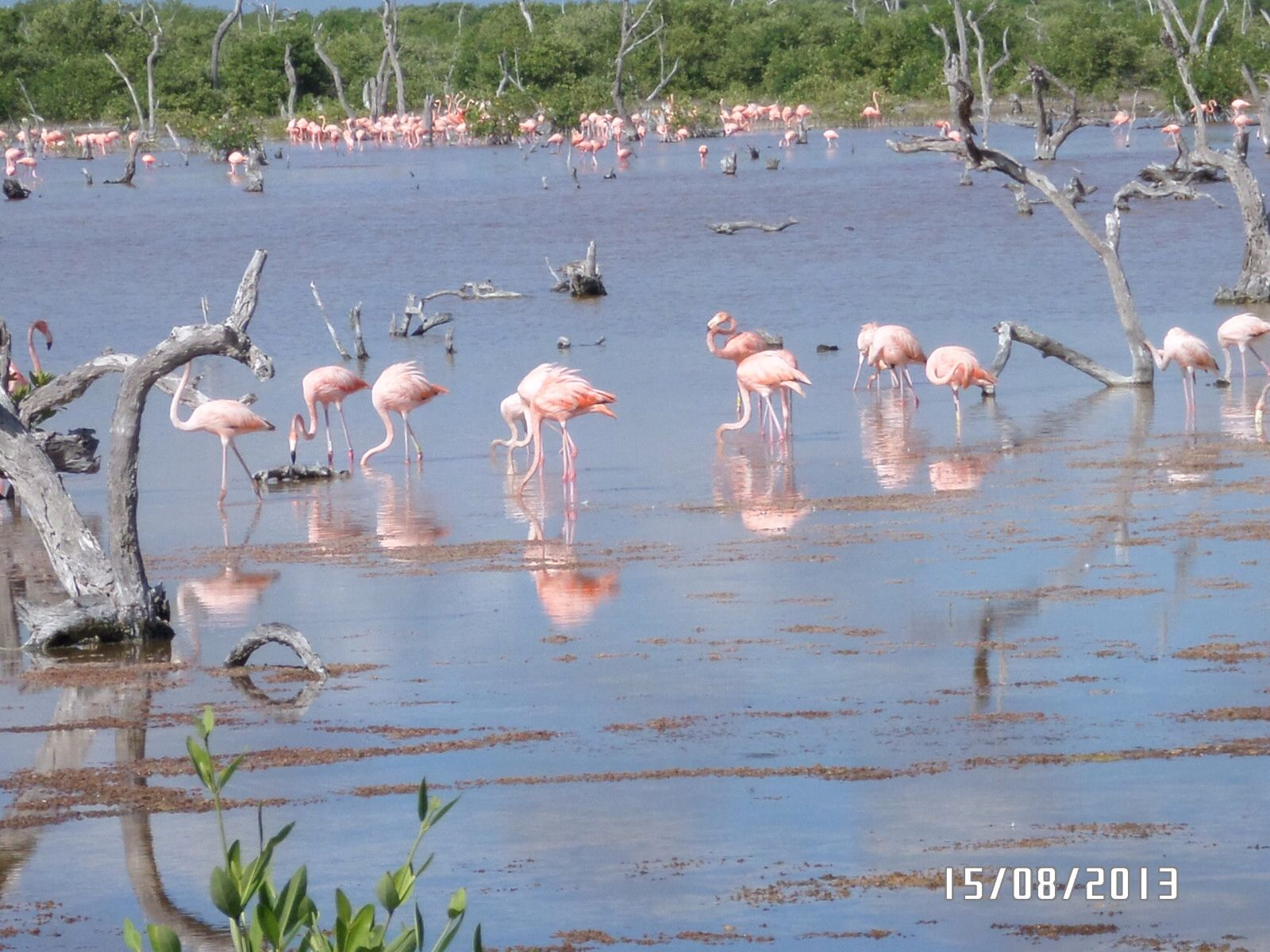 Flamingos en sisal Yucatán