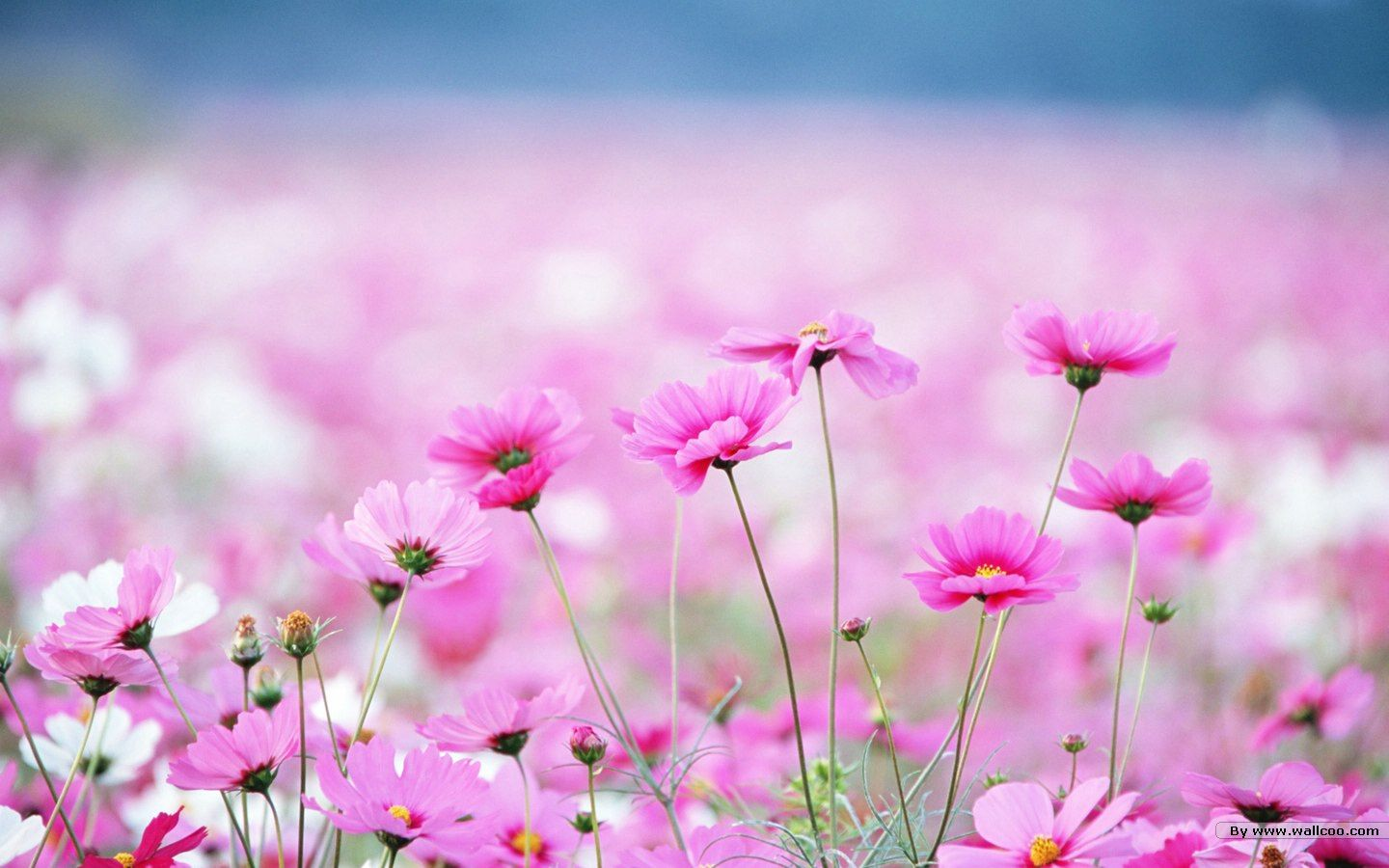 World of pink a symphony of beauty pinterest wildflowers
