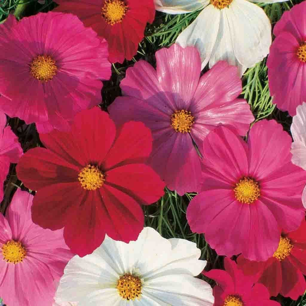Cosmos Sensation Mixed Colors Flower Seed In 2020 Flower Seeds Flower Images Cosmos Flowers