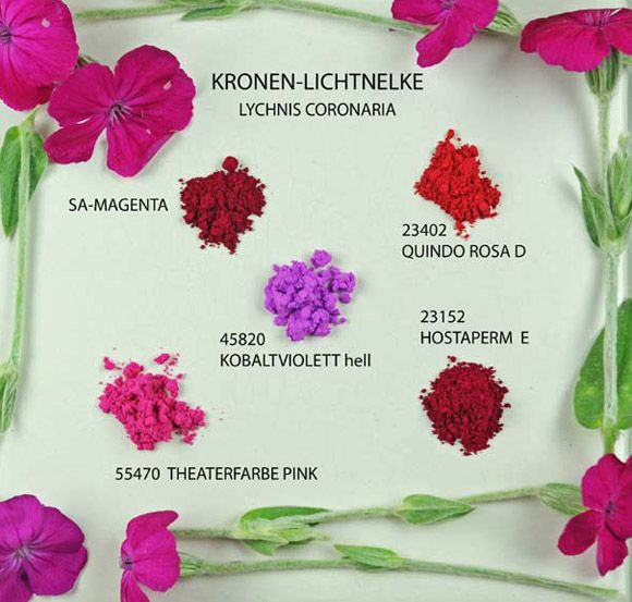 Lychnis Coronanria - Kronen Lichtnelke