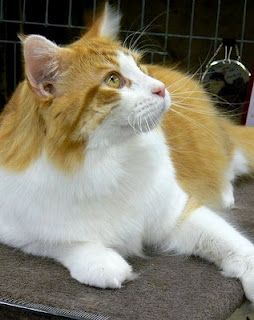 Pin On Maine Coon Cats Others