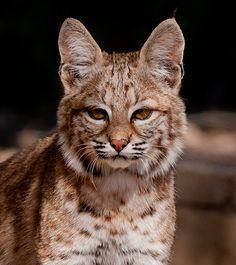 Pin On Wildcats Bobcats Lynx