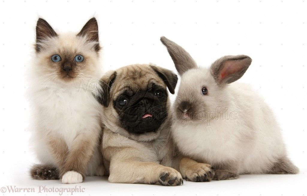 Nothing Is Cuter Than These Dogs Playing With Bunnies Cute Pug Puppies Cute Pugs Pug Puppies