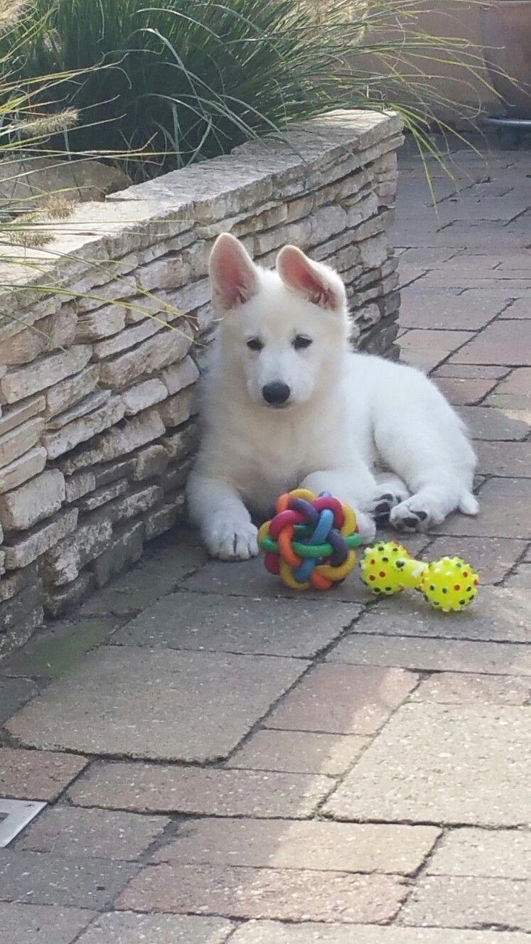 Beautiful White Swiss Shepherd puppy lady. huskypuppy