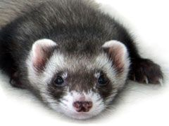 Ferrets As Pets For Kids Review Unusual Animals Animals For