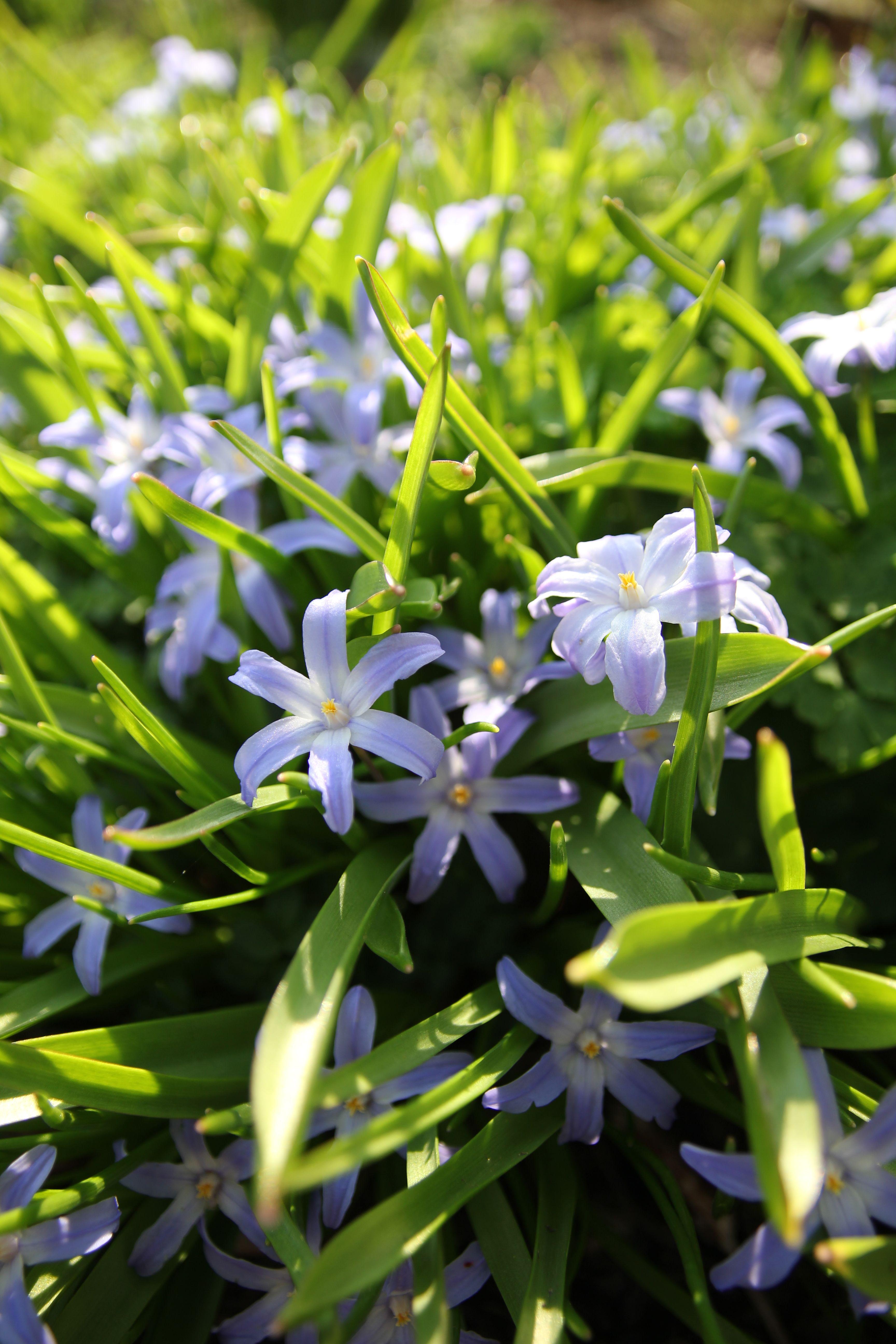 Chionodoxa Chionodoxa Assorted Spring Blooming Bulbs Pinterest