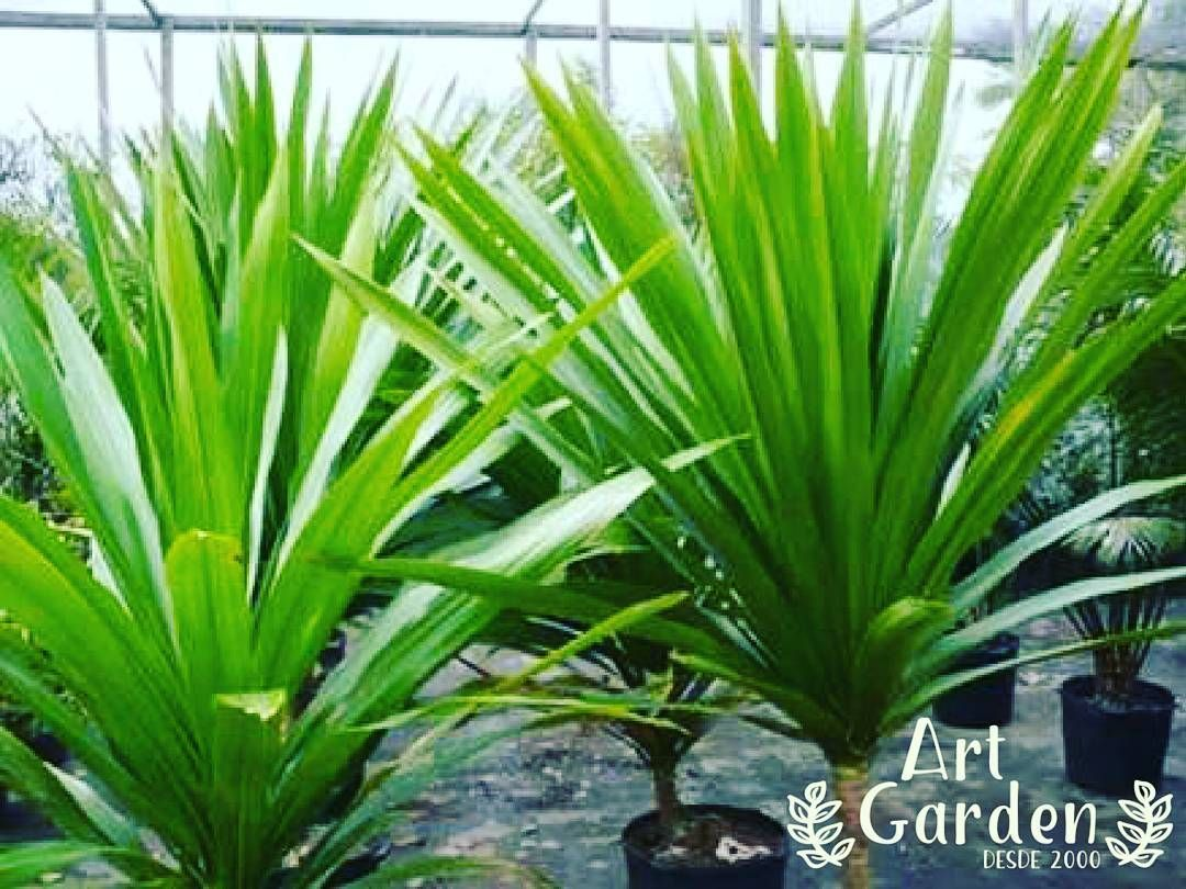34 best plants images on pinterest plants backyard privacy and
