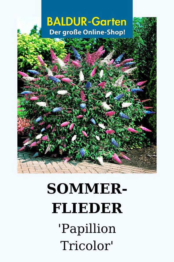 Sommerflieder Papillion Tricolor Top Qualitat Kaufen Baldur Garten In 2020 Flieder Bienenpflanzen Pflanzen