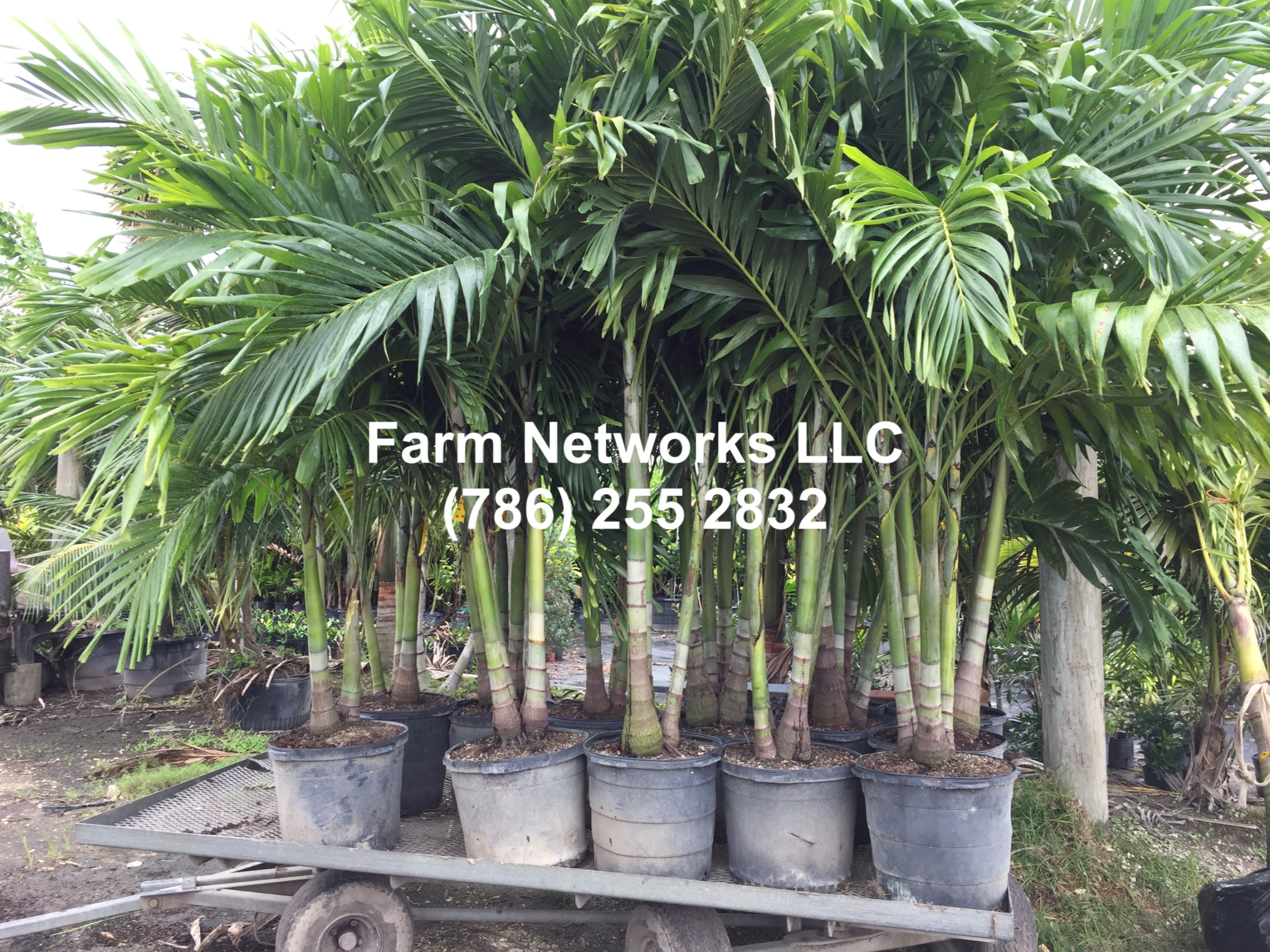Adonidia Palms In 15 Gallon Plants Florida Palm Trees Palm Trees