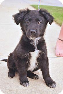 Dfw Tx Border Collie Blue Heeler Mix Meet Godiva A Puppy For