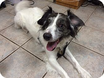 Colorado Springs Co Australian Shepherd Border Collie Mix Meet Max A Dog For Adoption Http Www Adoptapet Com P Kitten Adoption Pets Australian Shepherd