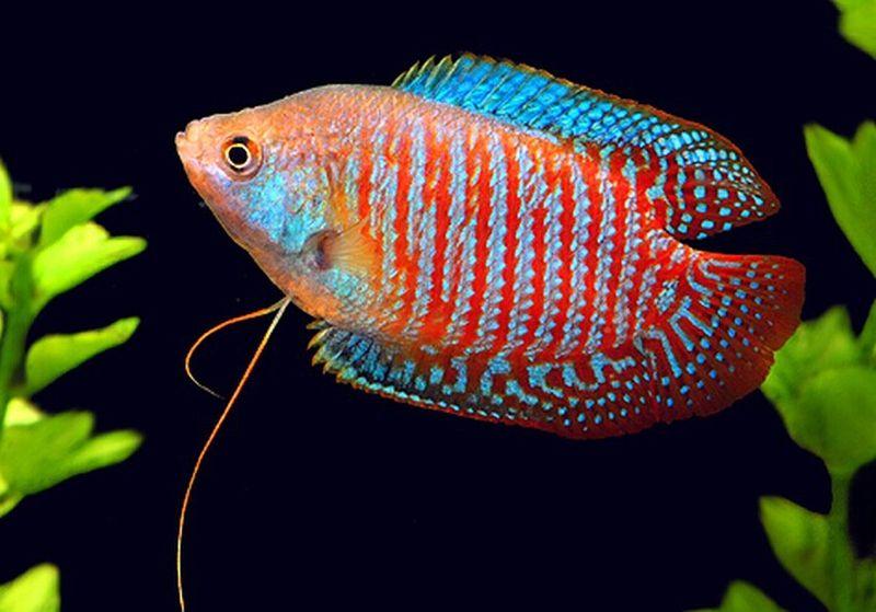Dwarf Gourami Top 12 Most Beautiful Fish In The World Enkiverywell Beautiful Fish Tropical Freshwater Fish Fish