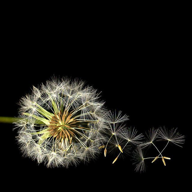 theantidote:  The Dandelion Clock (by magda indigo)
