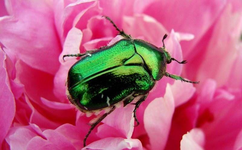 Роза – описание, виды и сорта, фото, посадка, уход ...