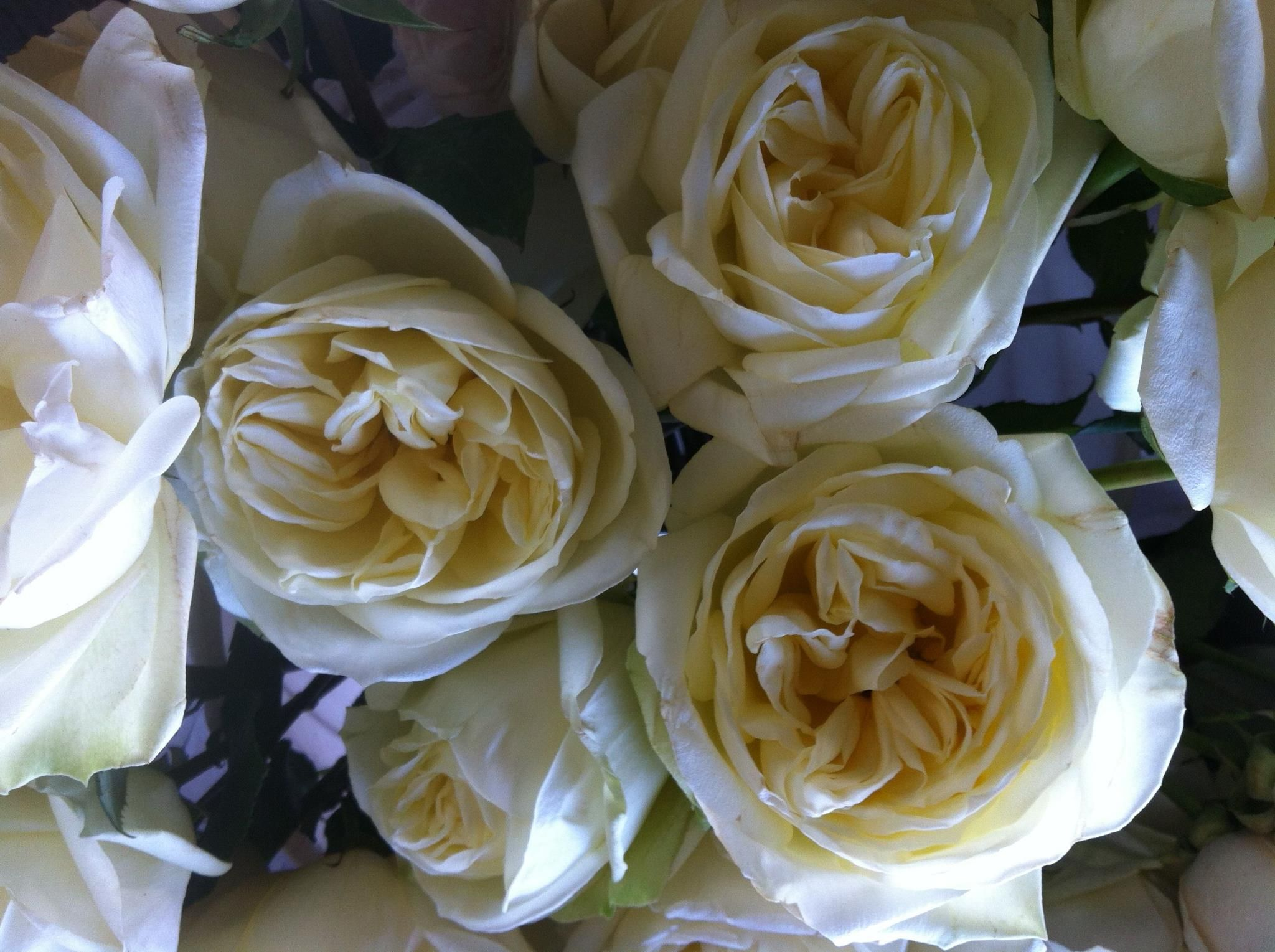 Love Garden Roses: White Polo Roses, South American Rose That Opens To Look