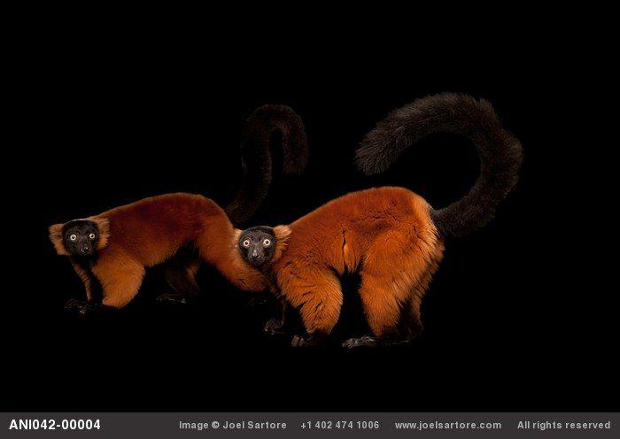 Red ruffed lemurs (Varecia variegata rubra) at the Miller Park Zoo.