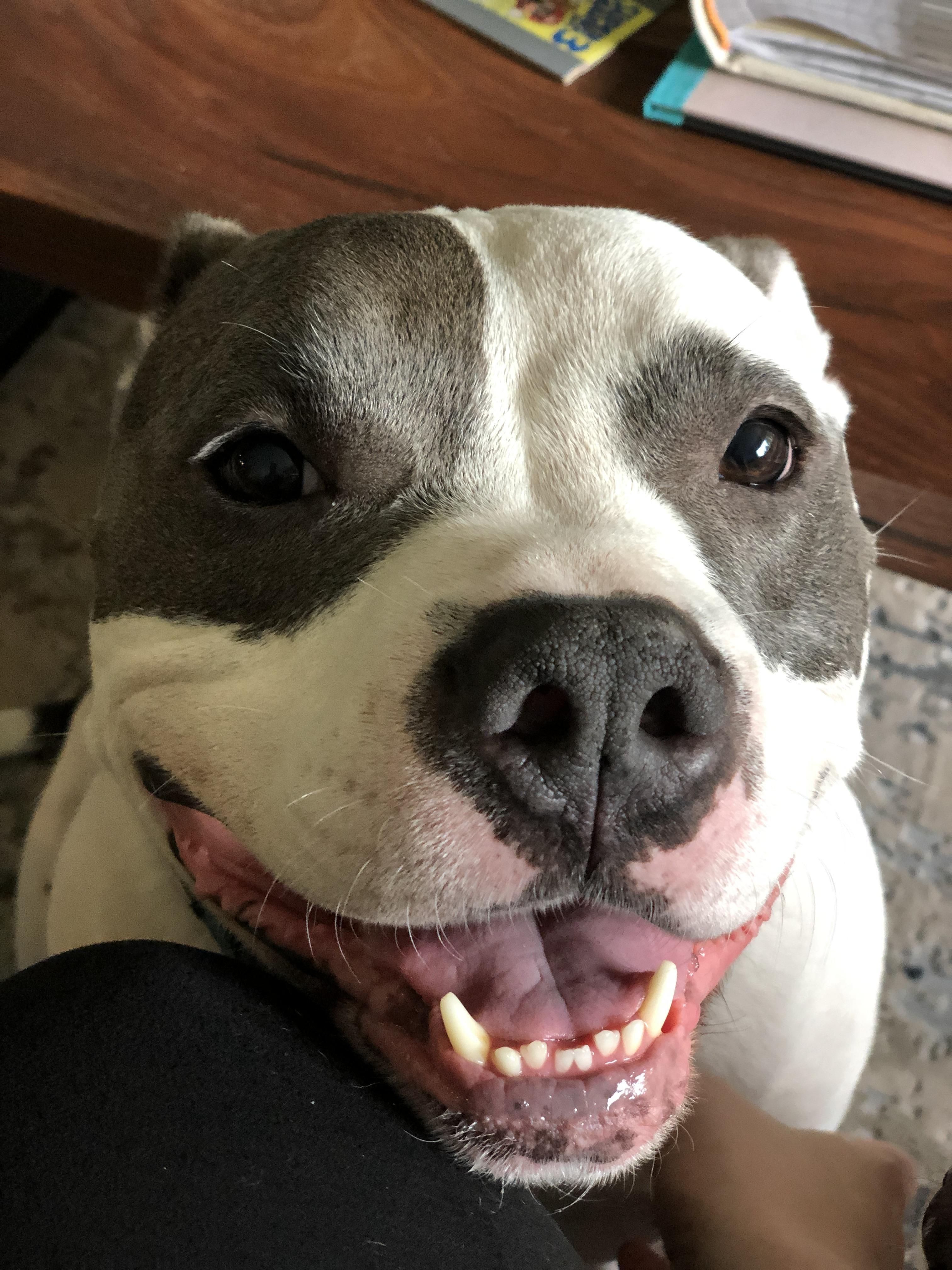 I M Only Talking To My Dog Today T Shirt Zazzle Com Pitbull