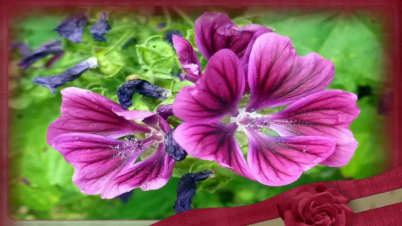 La Malva Y Sus Propiedades Malva Rosa Propiedades Medicinales Malva Planta Plantas Medicinales Malva
