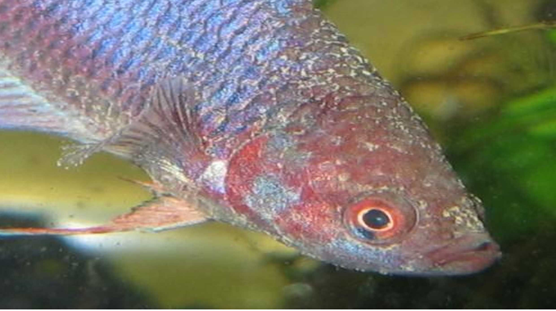 Fungal Disease In Betta Fish