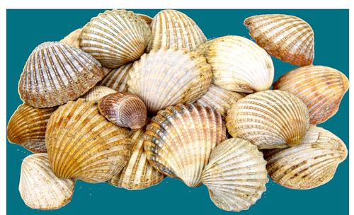 63166106e97a1876b76el Png 500 304 Sea Shells Seashells Photography Seashell Wall Art