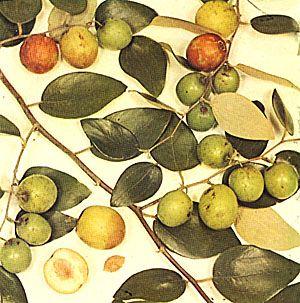 Coolie Plum or Crab Apple   Jamaican Food in 2019   Fruit, Tropical