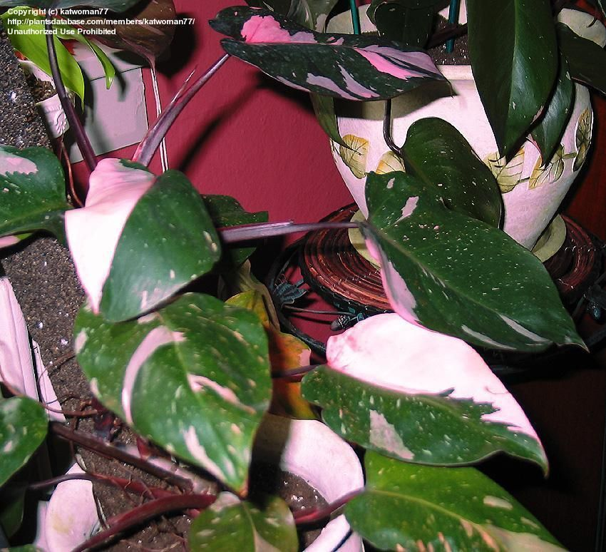 philodendron pink princess philodendron erubescens ps shade 80 z9 11 2 3 39 x2 3 39 moist. Black Bedroom Furniture Sets. Home Design Ideas