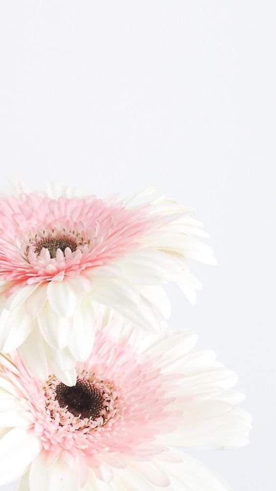 White And Pink Gerberas Pretty Wallpaper Iphone Nature Iphone Wallpaper Flower Wallpaper