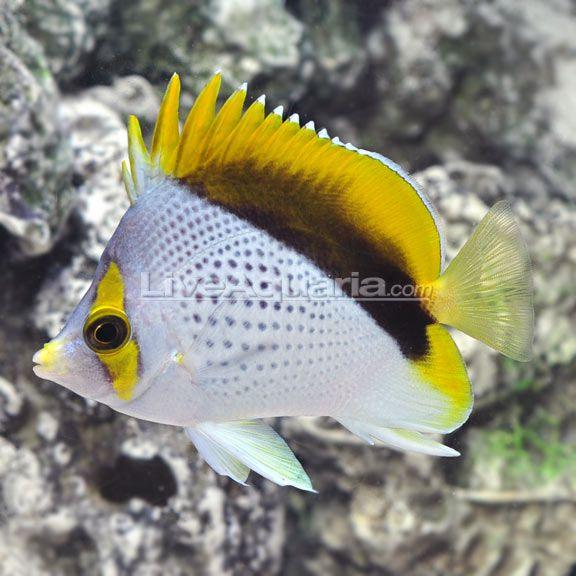 Declivis Butterflyfish Chaetodon Declivis Sea Fish Marine Fish Tropical Fish