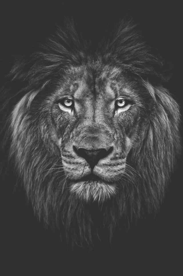 Photo of Lion n / b