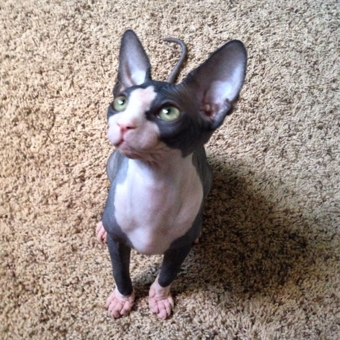 Tuxedo Sphynx Kitten! Sparkly eyes!