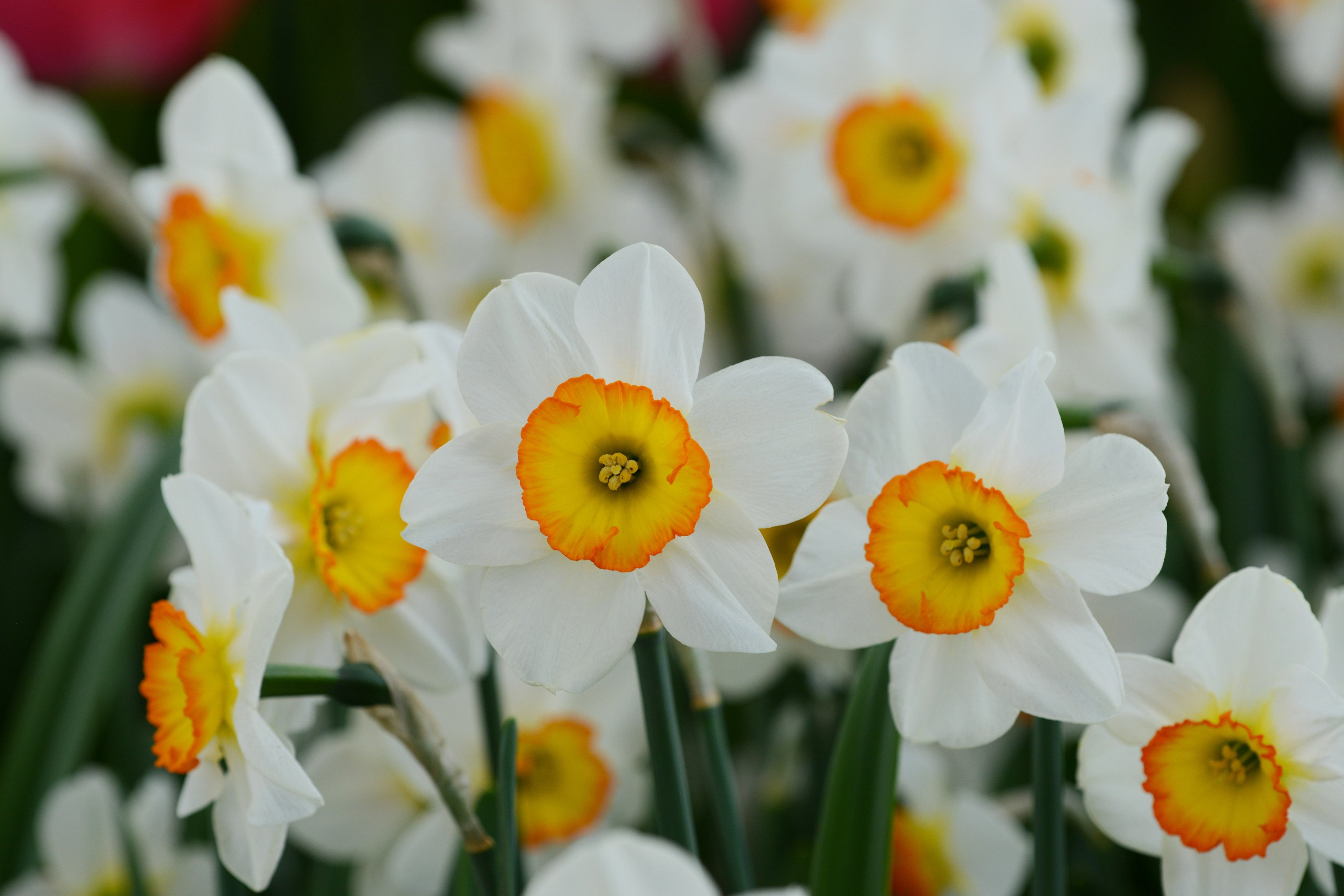 Daffodil Flower Record Daffodil Flower Daffodils Bulb Flowers