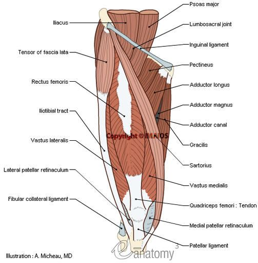 Muscles; Muscular system - Human body : Anterior compartment of ...