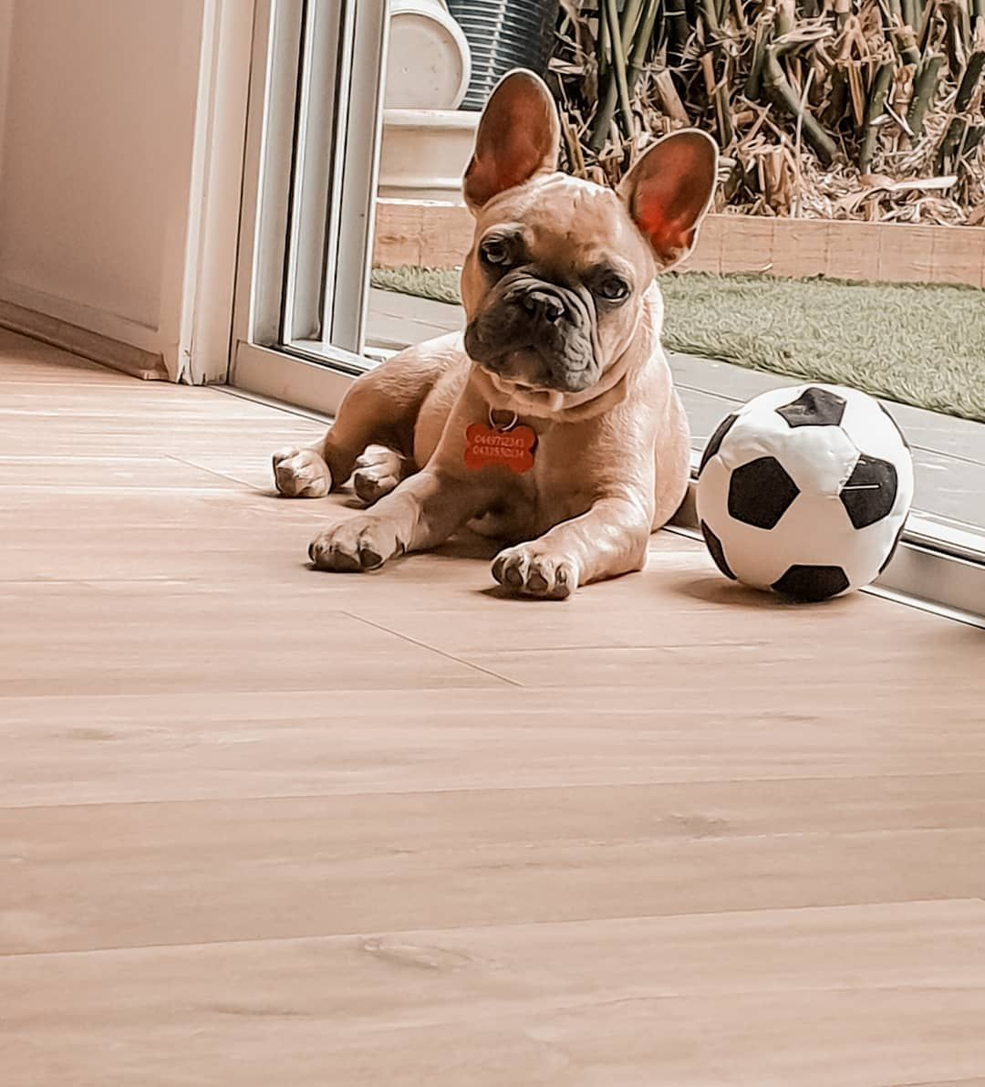 Soccer Dog Frenchiesofinstagram Frenchbulldoglife Frenchie