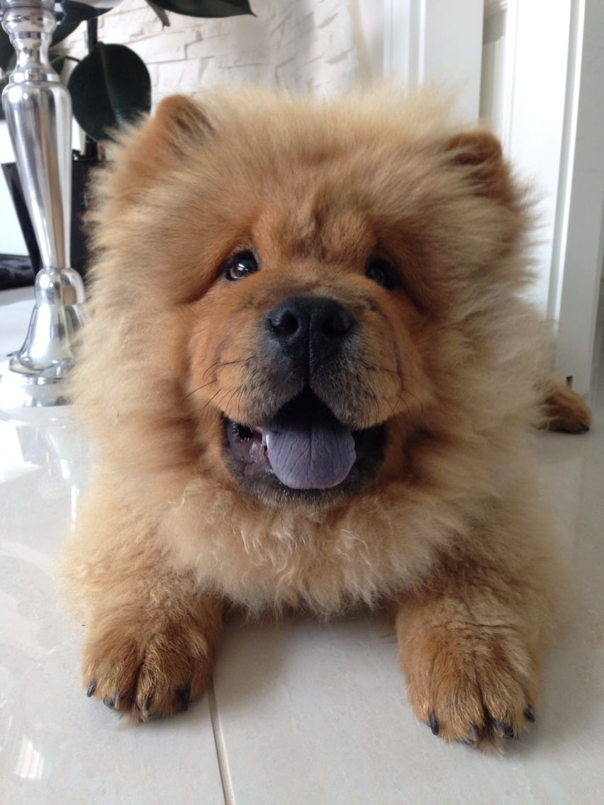 Mr Chow Chow Chow Dog Puppy Fluffy Dogs Dogs