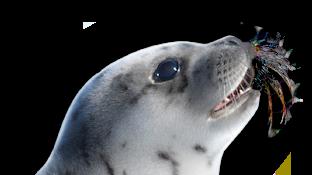 IFAW - Aidez-nous à sauver les phoques massacrés pour leur fourrure ou leur graisse !