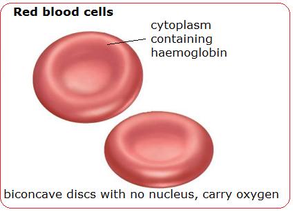 1d Blood Cells Erythrocytes Hematology Art Refs Pinterest