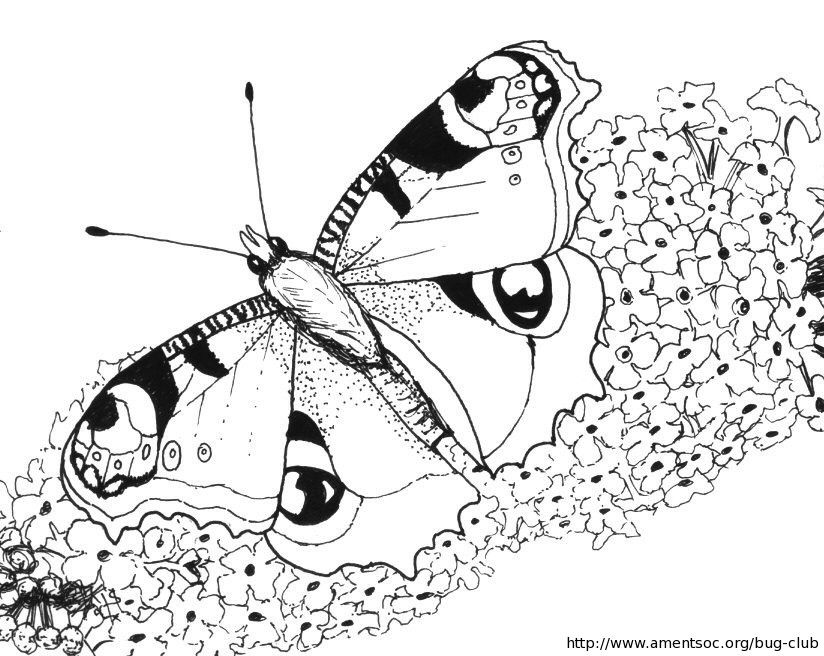 peacock butterfly coloring sheet - Colouring In Sheet