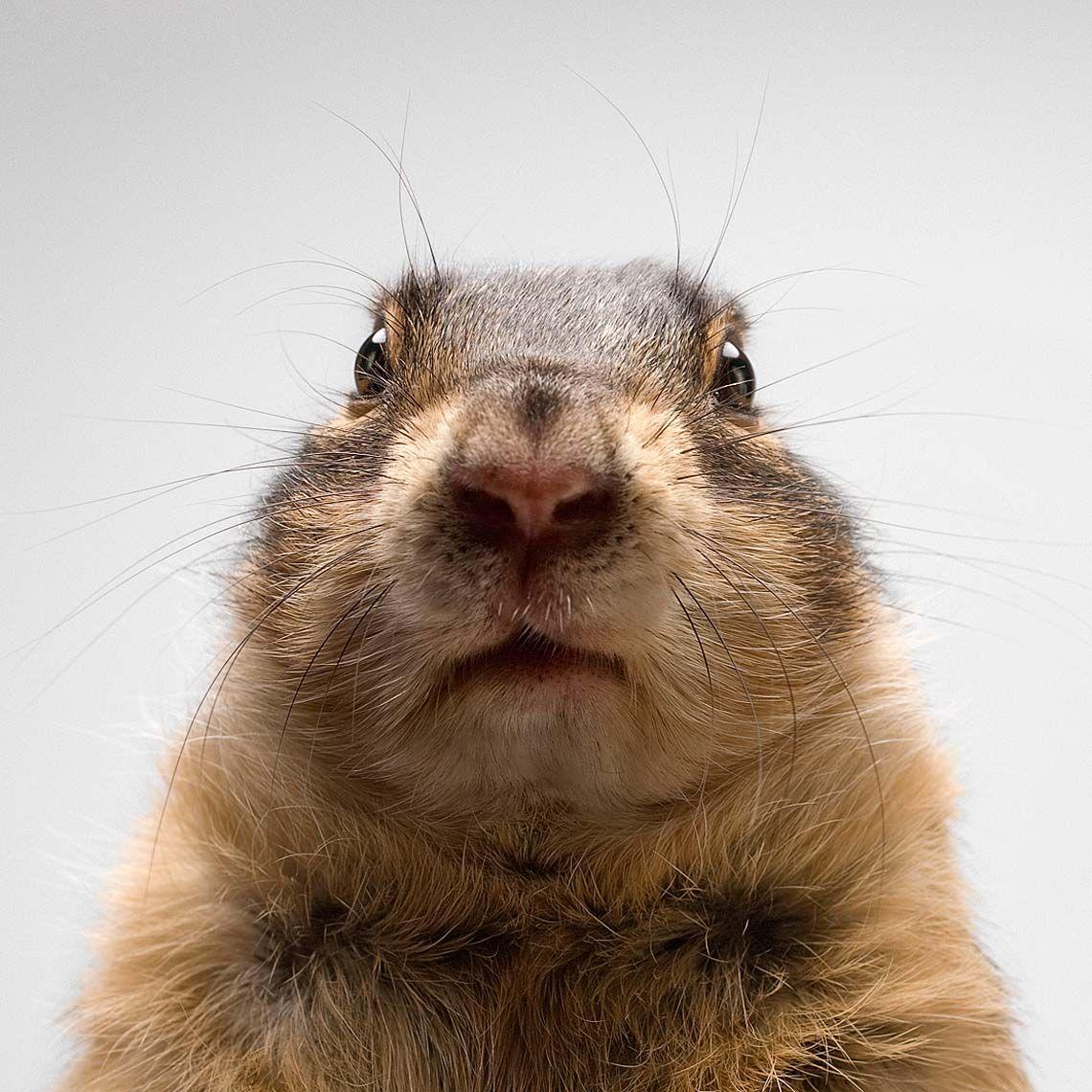 Marmota.