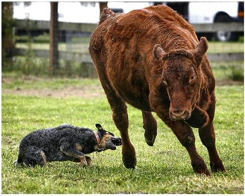 Heeler Doing What Its Name Says Herding By Heel Nipping Blue