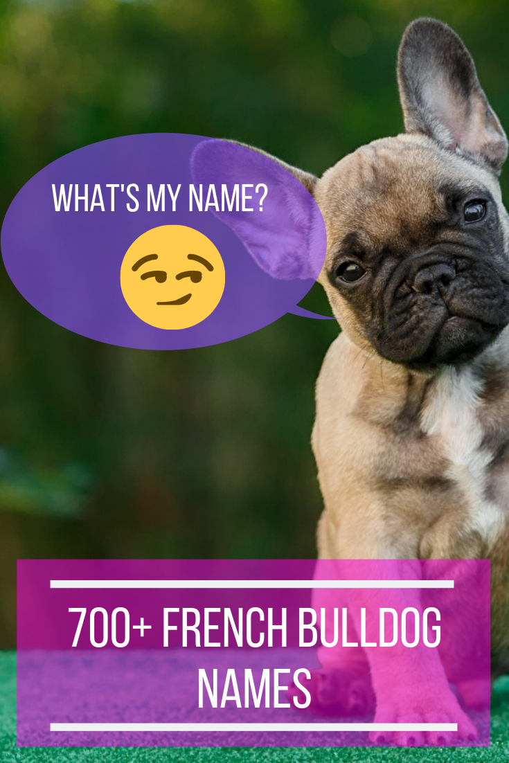 700+ French Bulldog Names The Ultimate Name Idea List