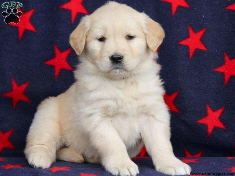 Taffy Boxador Puppy For Sale In Pennsylvania Boxador Puppies