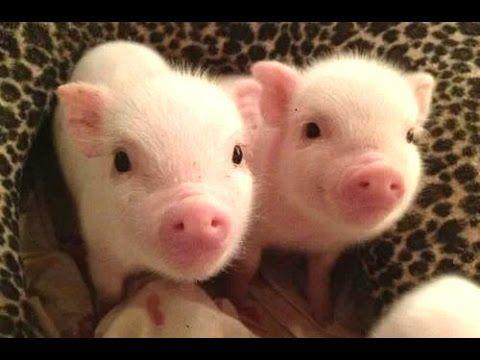 1000 images about Cuento de cochon on Pinterest